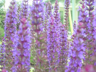 garden landscaping with prairie planting for garden in Leeds salvia