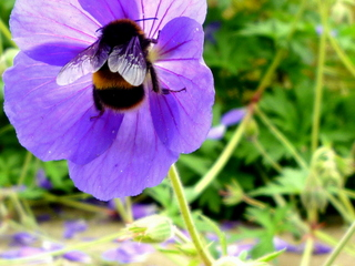 garden landscaping for courtyard at denby dale near wakefield bee on geranium
