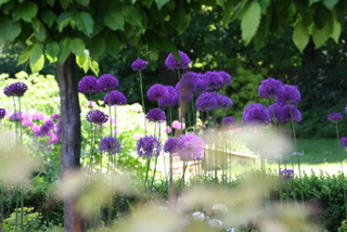 landscape gardeners leeds allium flowers on terrace with pleached trees