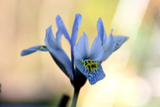 Iris Katharine Hodgkin in February by Paperbark Garden Design