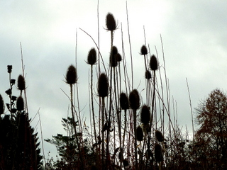 Seedhead of Teasel in Yorkshire in November photo by Paperbark Garden Design
