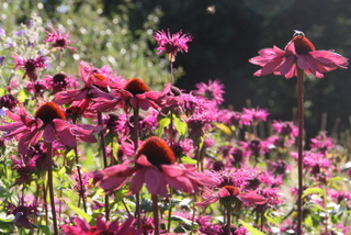 Garden planting at Harrogate North Yorkshire, beautiful border planting, echinacea